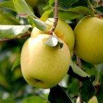 Яблоки голден: калорийность, польза, вред