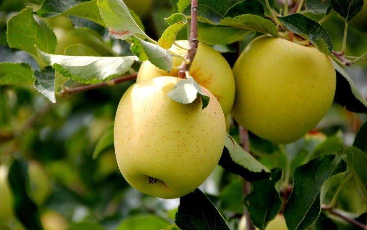 яблоки голден вред