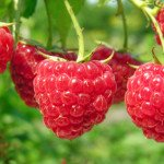 Калорийность малины замороженной и свежей на 100 грамм, польза и вред ягоды