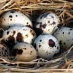 Польза, вред, калорийность перепелиных яиц на 100 грамм, в 1 шт.