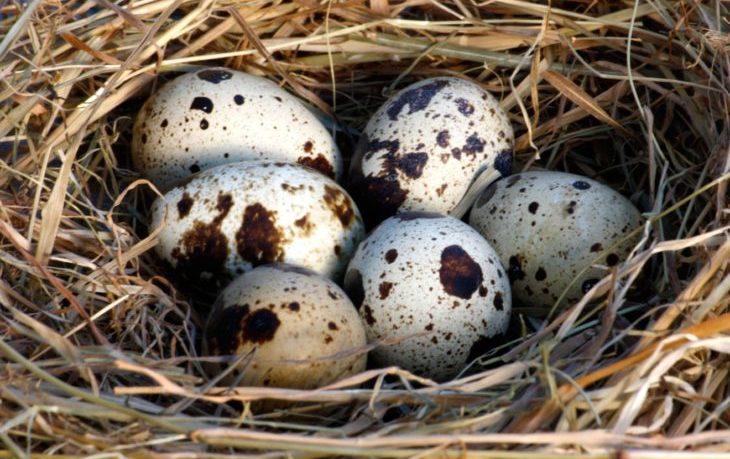перепелиные яйца калорийность 1 шт
