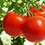Польза, вред, калорийность томатов на 100 грамм
