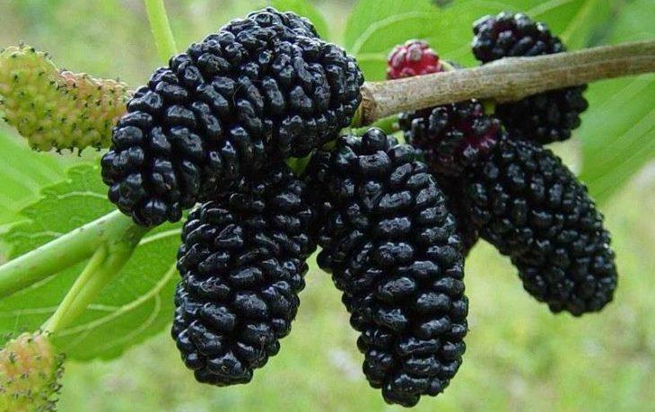 калорийность ягод шелковицы