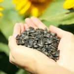 Польза, вред, калорийность семечек подсолнечника на 100 грамм