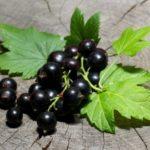 Польза и вред черной смородины для здоровья