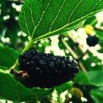 Польза и вред шелковицы для здоровья