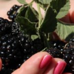 Польза и вред ягод шелковицы белой, черной, в варенье, сиропе, чае