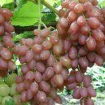 Польза и вред винограда кишмиш, изабелла, при беременности