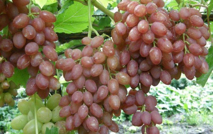 виноград кишмиш польза и вред