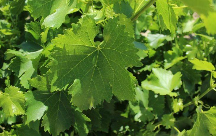 листья винограда польза и вред