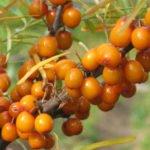 Польза и вред листьев, чая, масла, семени облепихи