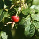 Польза и вред листьев, сиропа, цветов, лепестков шиповника