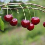 Польза и вред ягод вишни для здоровья