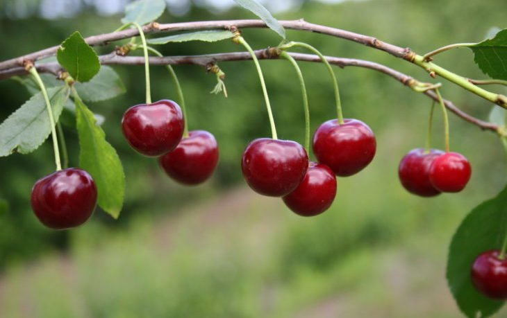 польза ягод вишни