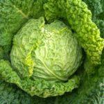 Польза и вред савойской капусты для здоровья человека