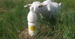 Полезно ли пить козье молоко
