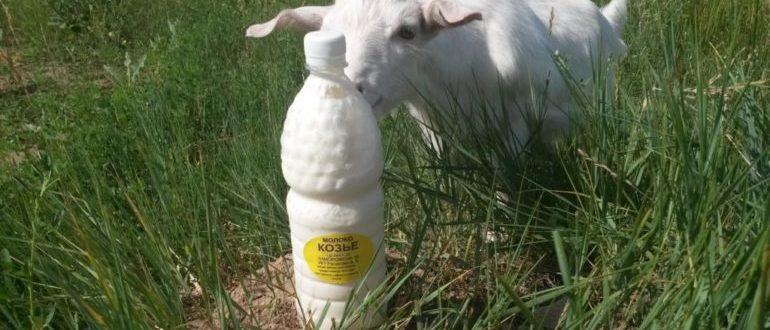 полезно или вредно пить козье молоко