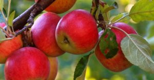 Почему полезно есть яблоки
