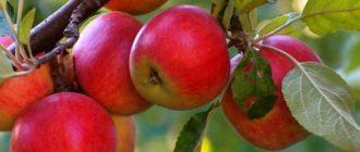 полезно есть яблоки
