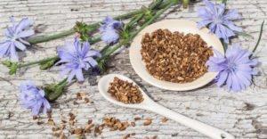 10 полезных свойств корня цикория