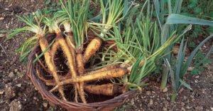 10 полезных свойств корня козлобородника